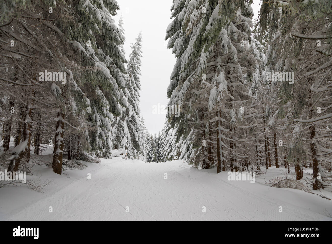 Winter landscape with high spruces and snow in mountains - Stock Image