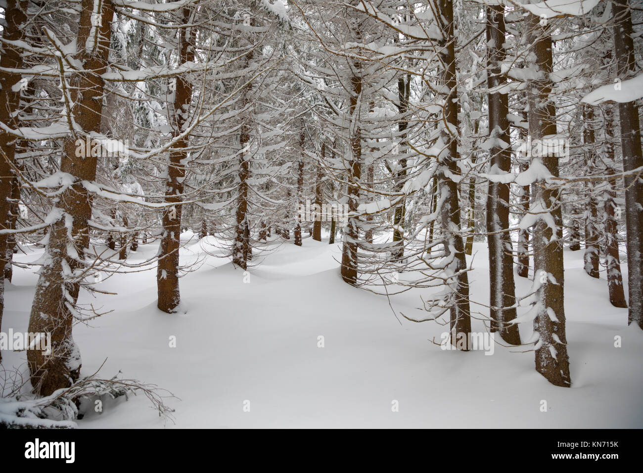 Winter landscape with spruces and snow in mountains - Stock Image