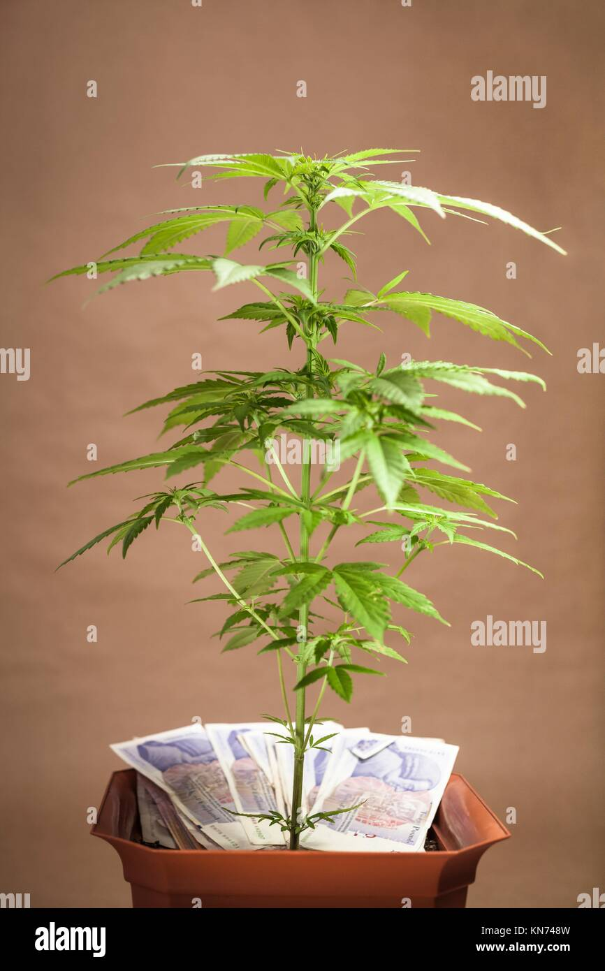 Cannabis business concept. Cannabis plant in flowerpot with banknotes in British currency. - Stock Image