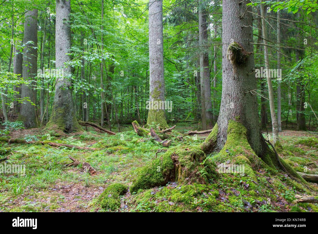 Group of old spruces inside deciduous stand of Bialowieza Forest,Poland,Europe. - Stock Image