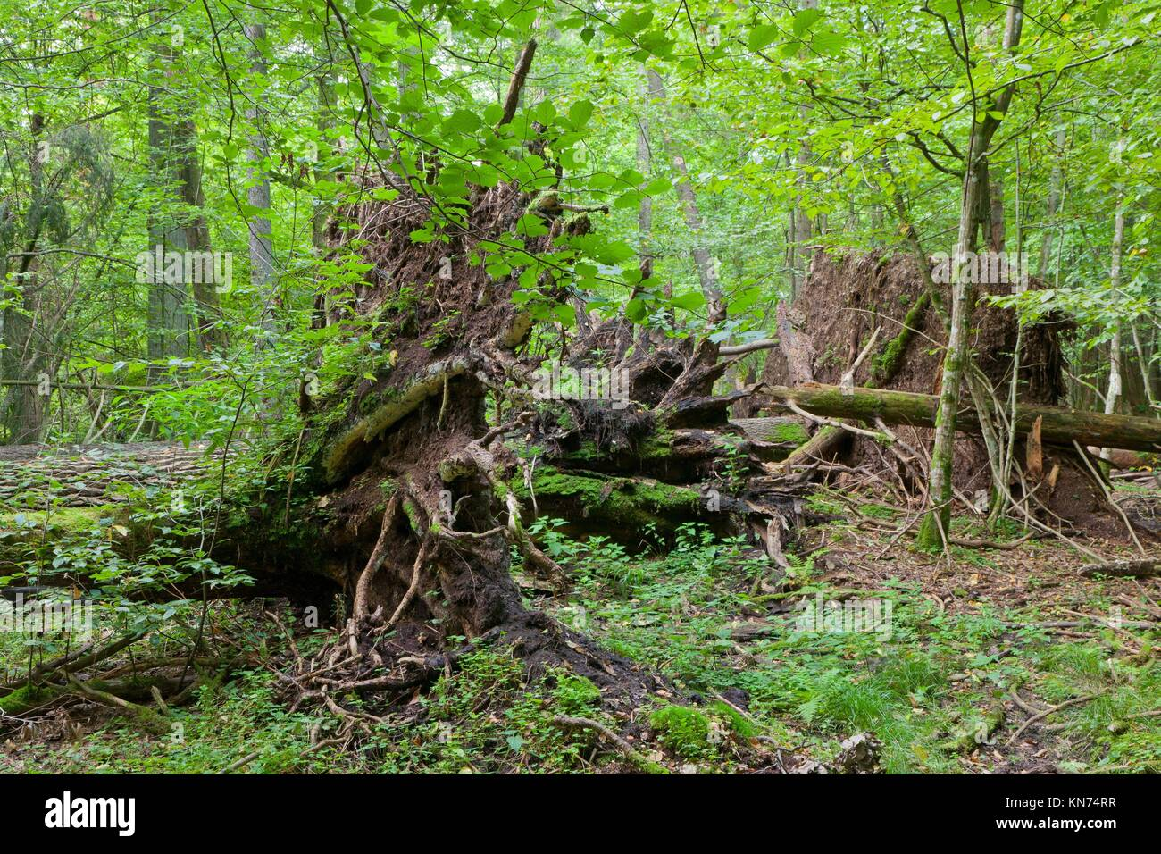 Monumental broken trees lying under canopy of deciduous stand of Bialowieza Forest,Bialowieza Forest,Poland,Europe. - Stock Image