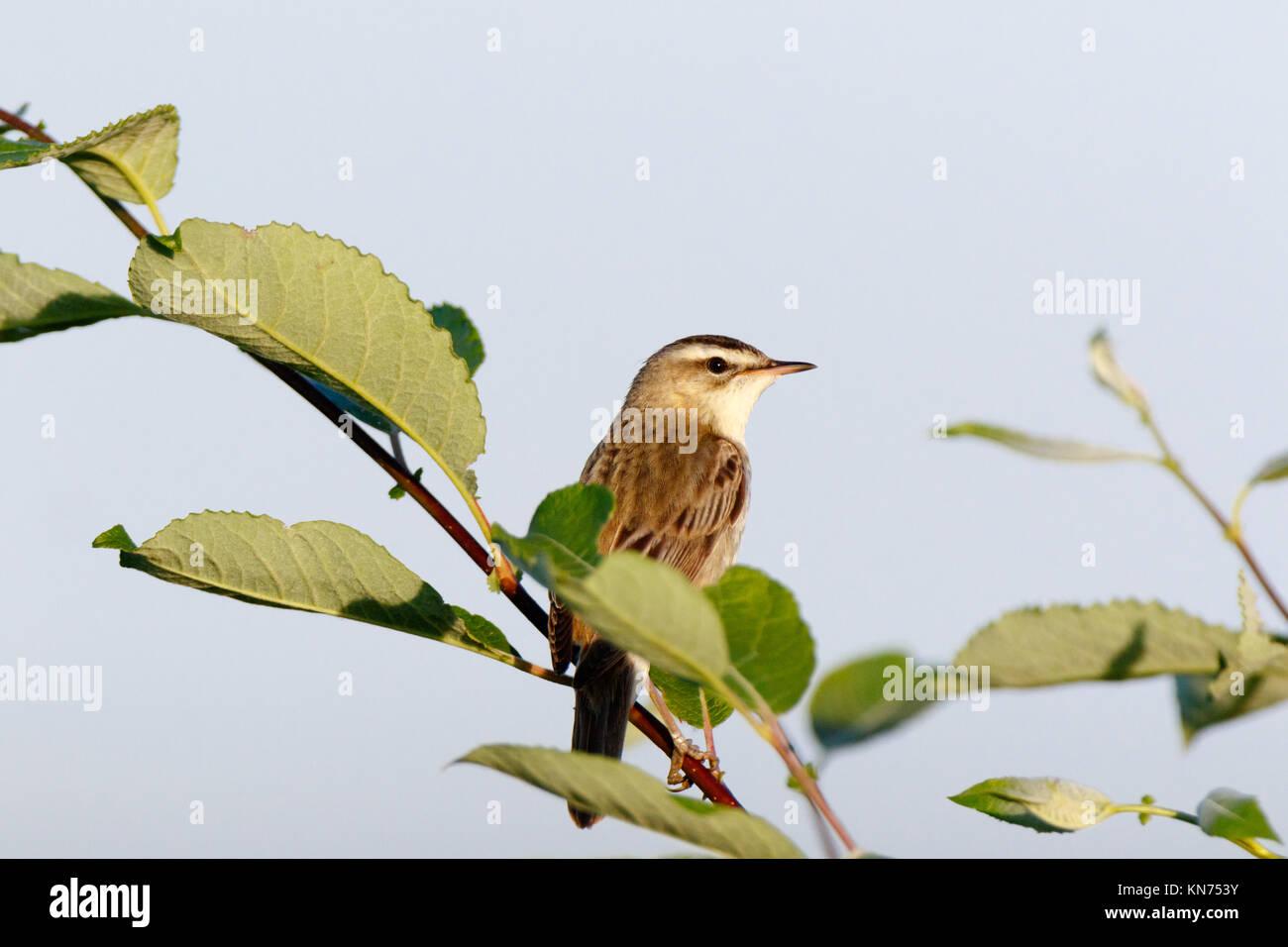 Sedge Warbler (Acrocephalus schoenobaenus). Russia, the Ryazan region (Ryazanskaya oblast), the Pronsky District. - Stock Image