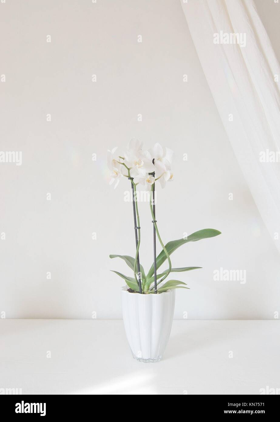 White orchid flowers in pot with white linen drape against white wall. Stock Photo