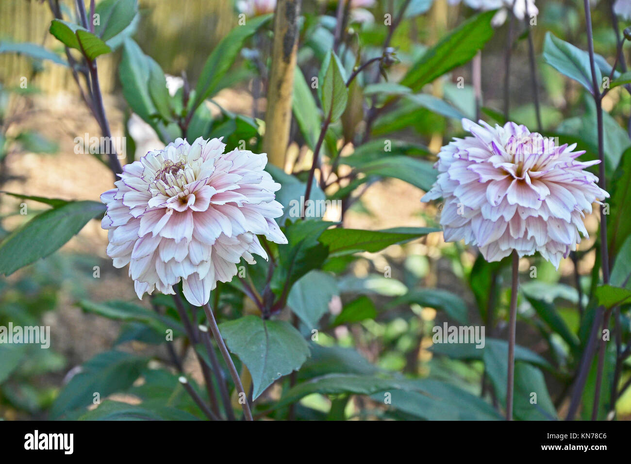 Flashback Stock Photos Images Alamy Wiring Diagram Flowering Dahlia In A Garden Border Image