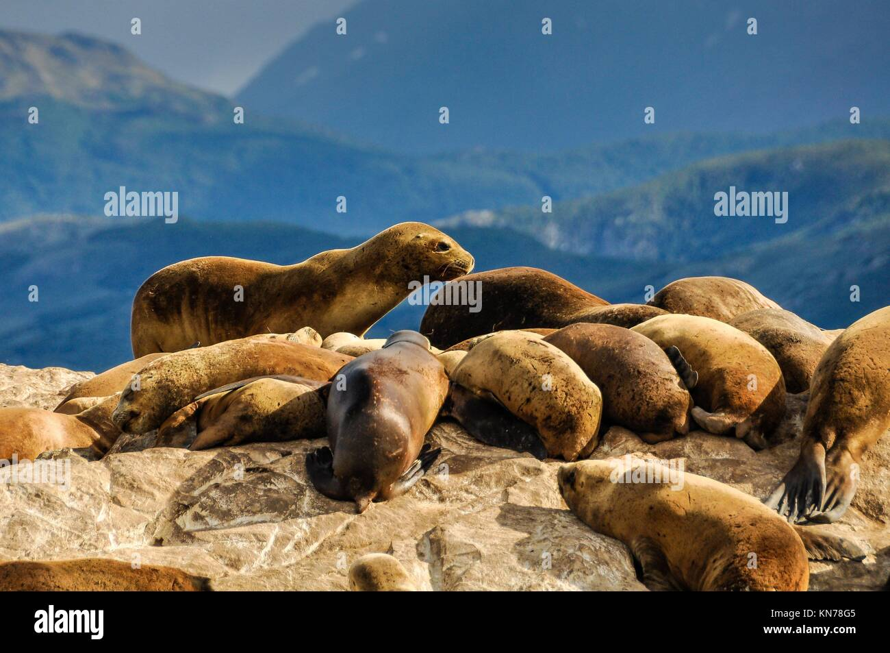 Seals and sea lions, Beagle Channel, Ushuaia, Argentina. - Stock Image