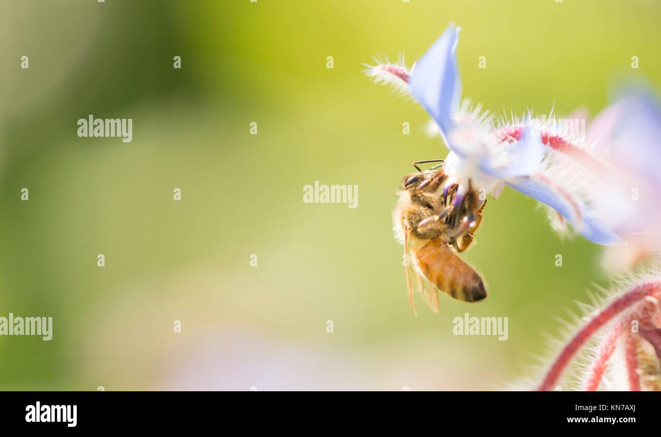Bee close up with copy space. Beautiful summer nature detail with pollination of flower in garden. Concept of making - Stock Image
