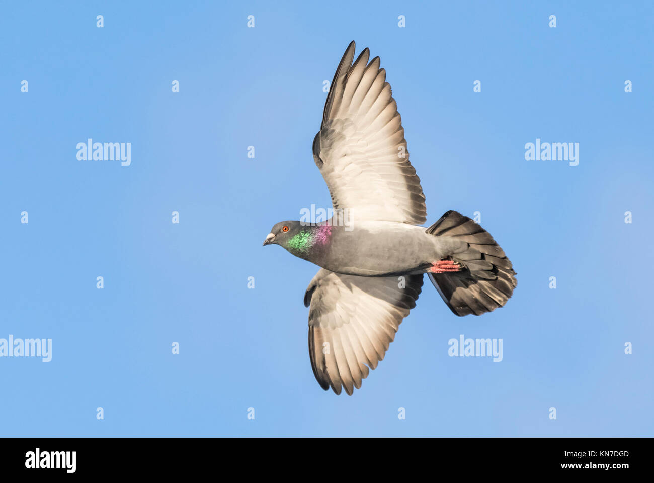 Feral Pigeon (Columba livia domestica) flying with wings outstretched in Winter against blue sky in the UK. - Stock Image