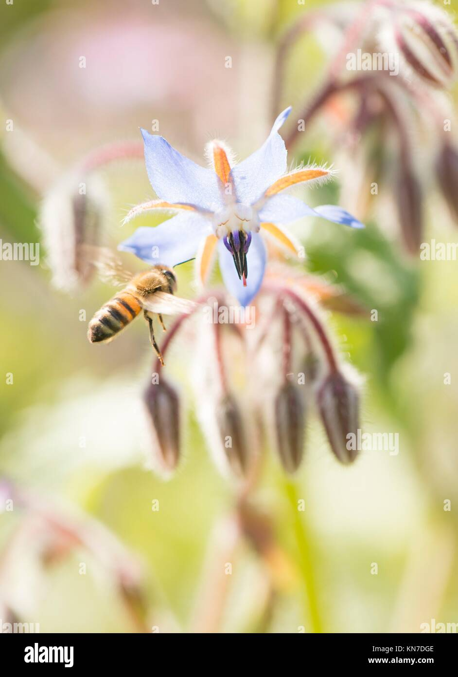 Bee close up. Beautiful summer nature detail with pollination of flower in garden. Concept of making honey, ecosystem - Stock Image