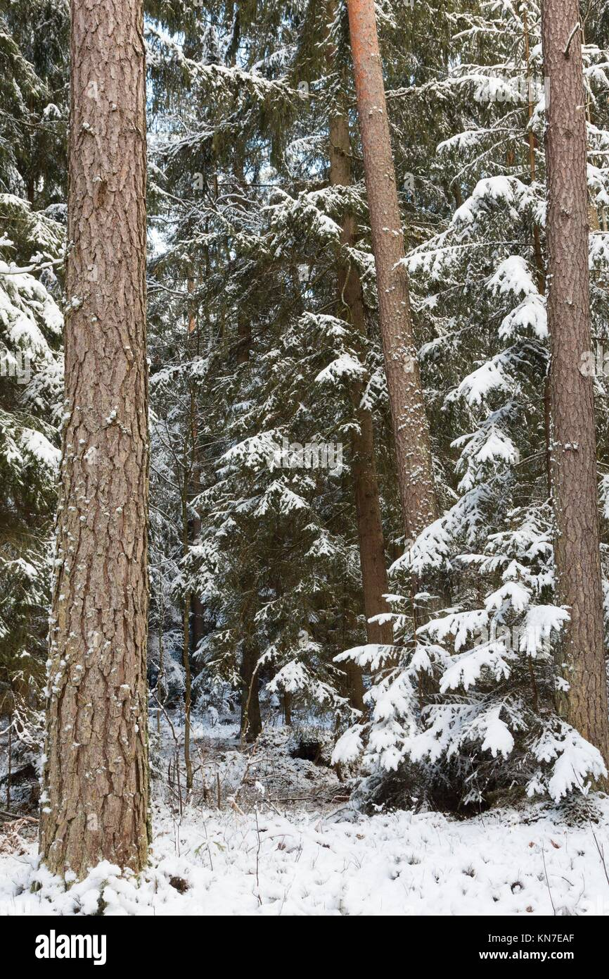 Winter landscape of natural forest with pine trees trunks and spruces, Bialowieza Forest, Poland. - Stock Image