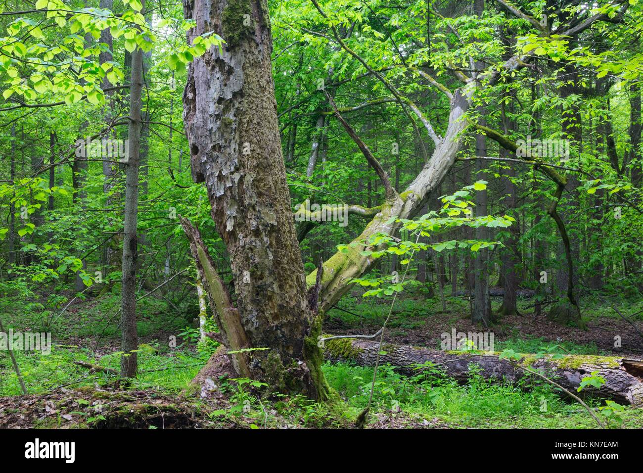 Old monumental Hornbeam Tree(Carpinus betulus) in front of juvenile deciduous stand of Bialowieza Forest in summer, - Stock Image