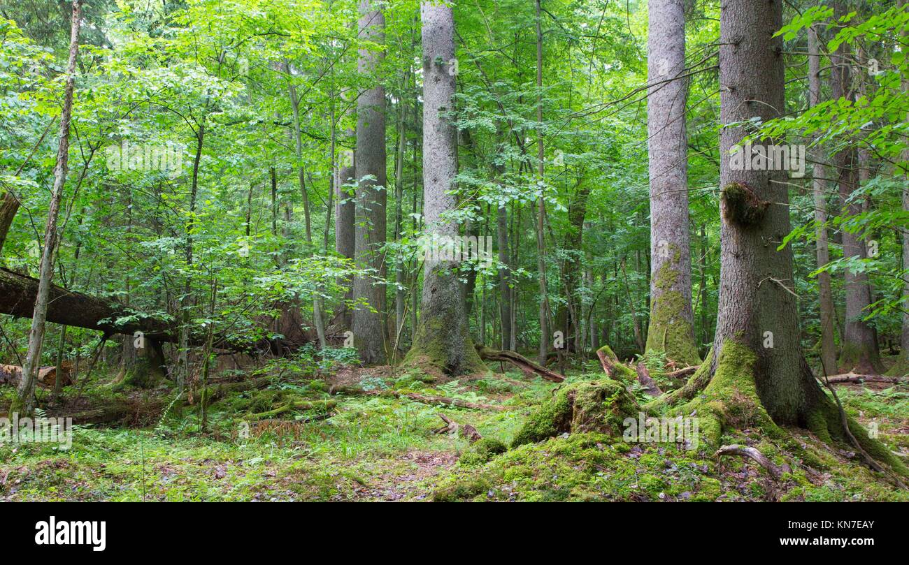 Group of old spruces inside deciduous stand of Bialowieza Forest, Poland. - Stock Image