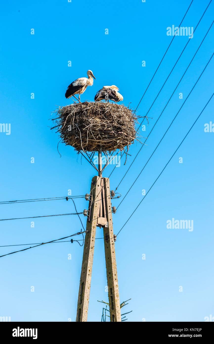 storks in nest, Trzescianka, Podlaskie Voivodeship, Poland. - Stock Image