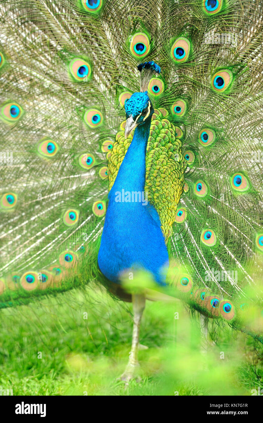 Beautiful indian peacock with fully fanned tail Stock Photo