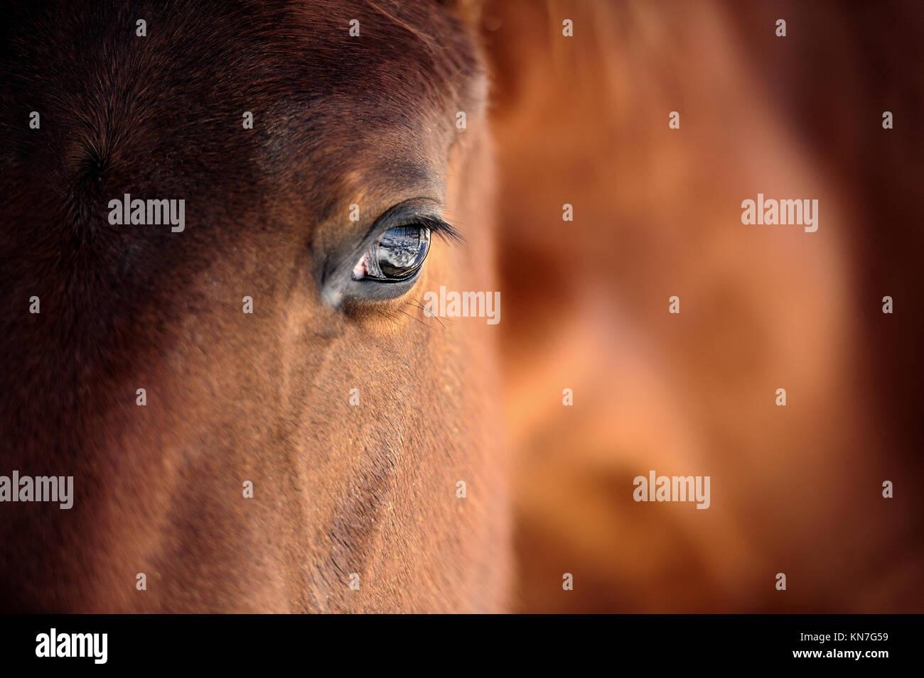 Eye of Arabian bay horse - Stock Image