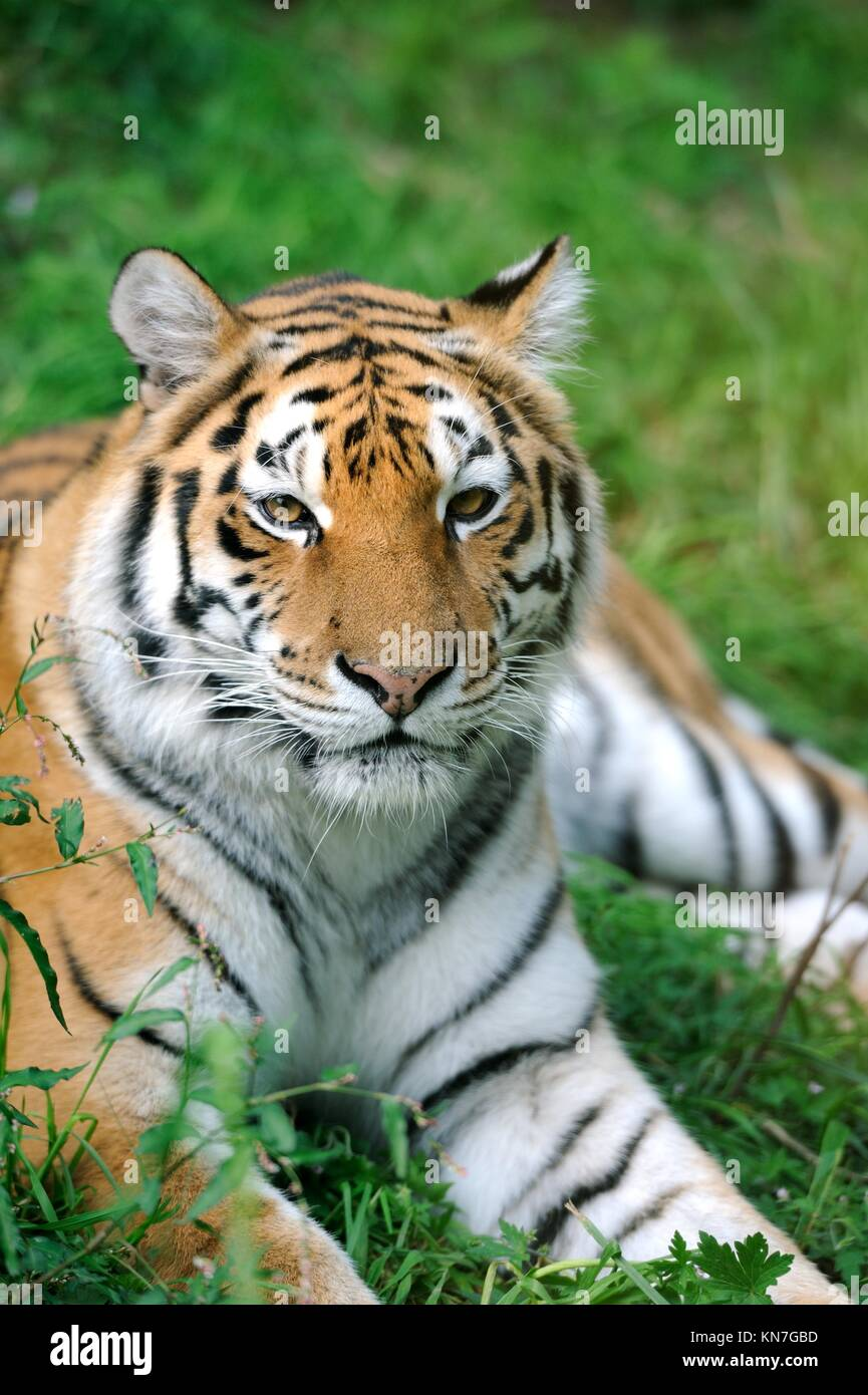 Close-up beautiful tiger in grass - Stock Image