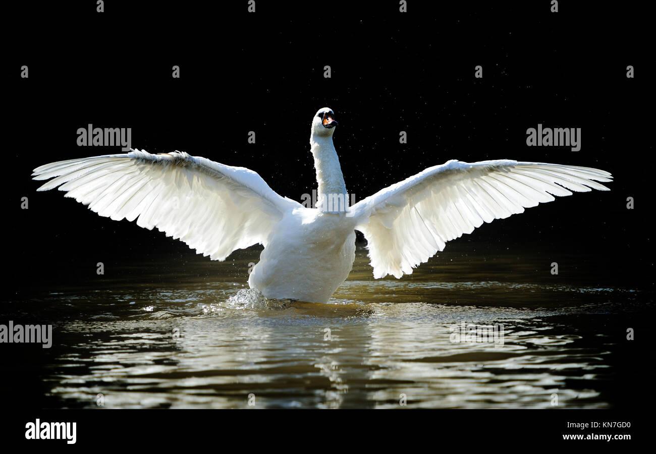Swan in lake on dark background - Stock Image