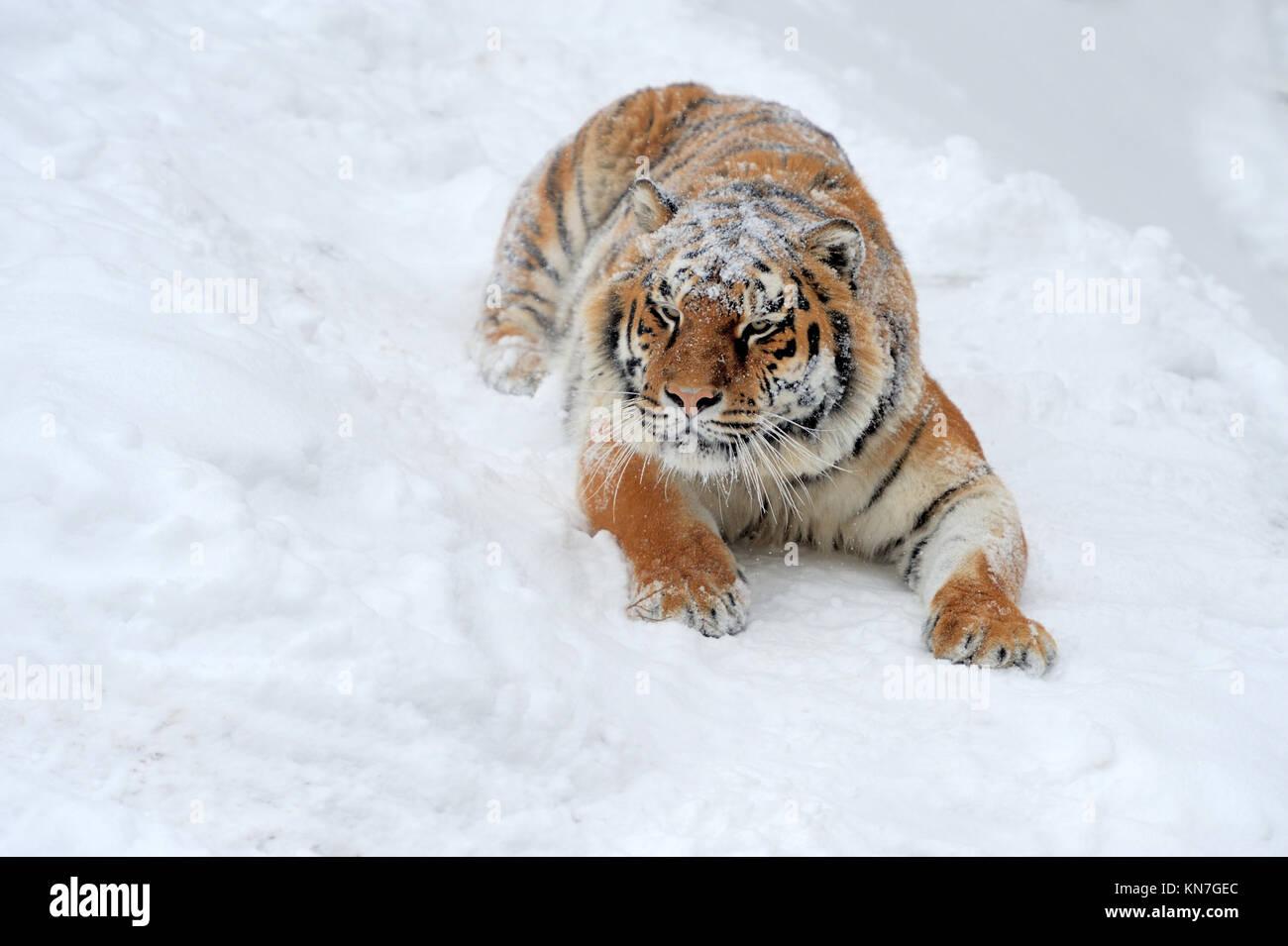 Beautiful wild siberian tiger on snow - Stock Image
