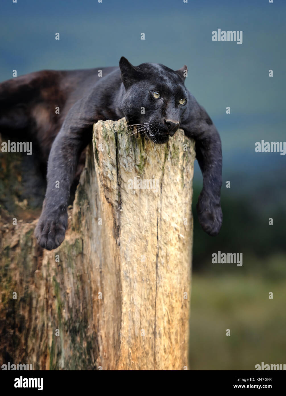 Young black leopard sitting on a tree trunk in the background of Savannah - Stock Image