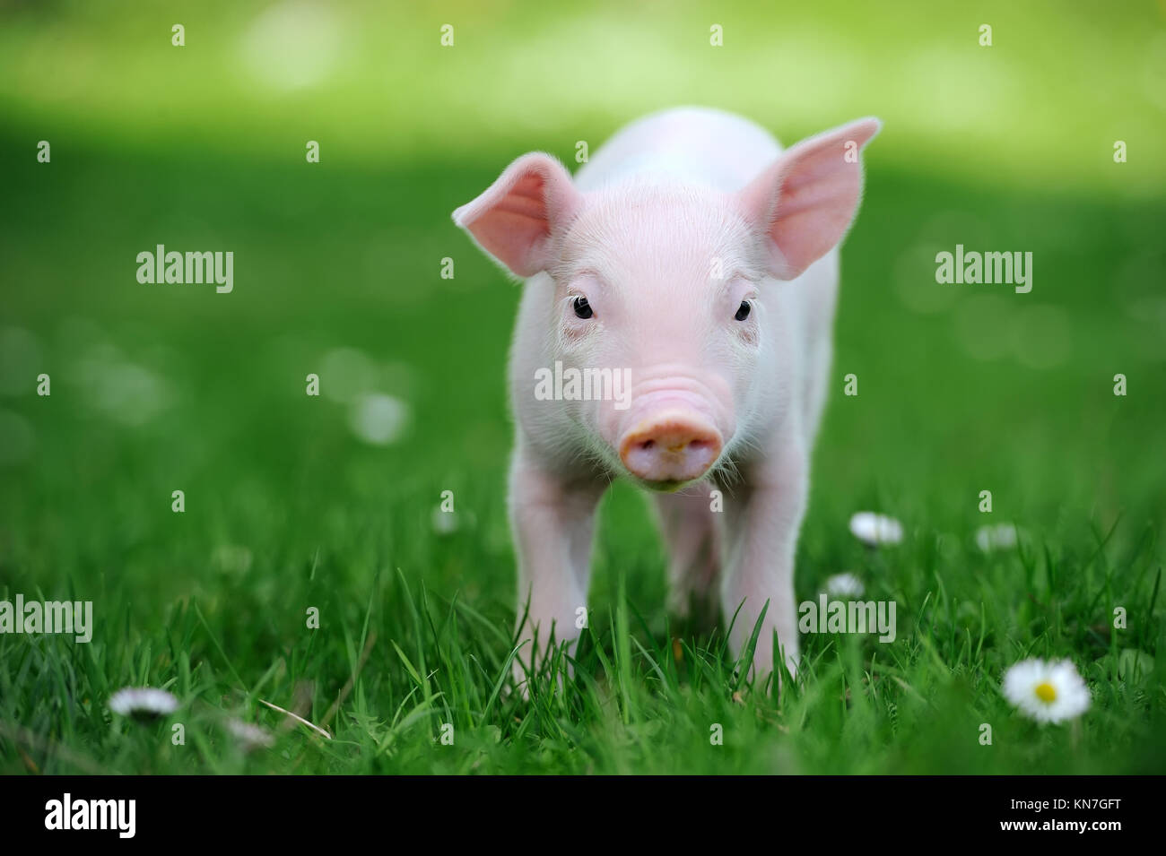 Young pig in a spring green grass - Stock Image