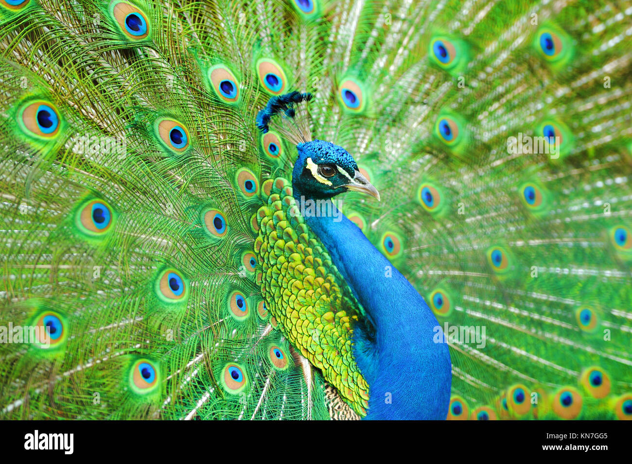 Portrait of beautiful peacock with feathers out Stock Photo