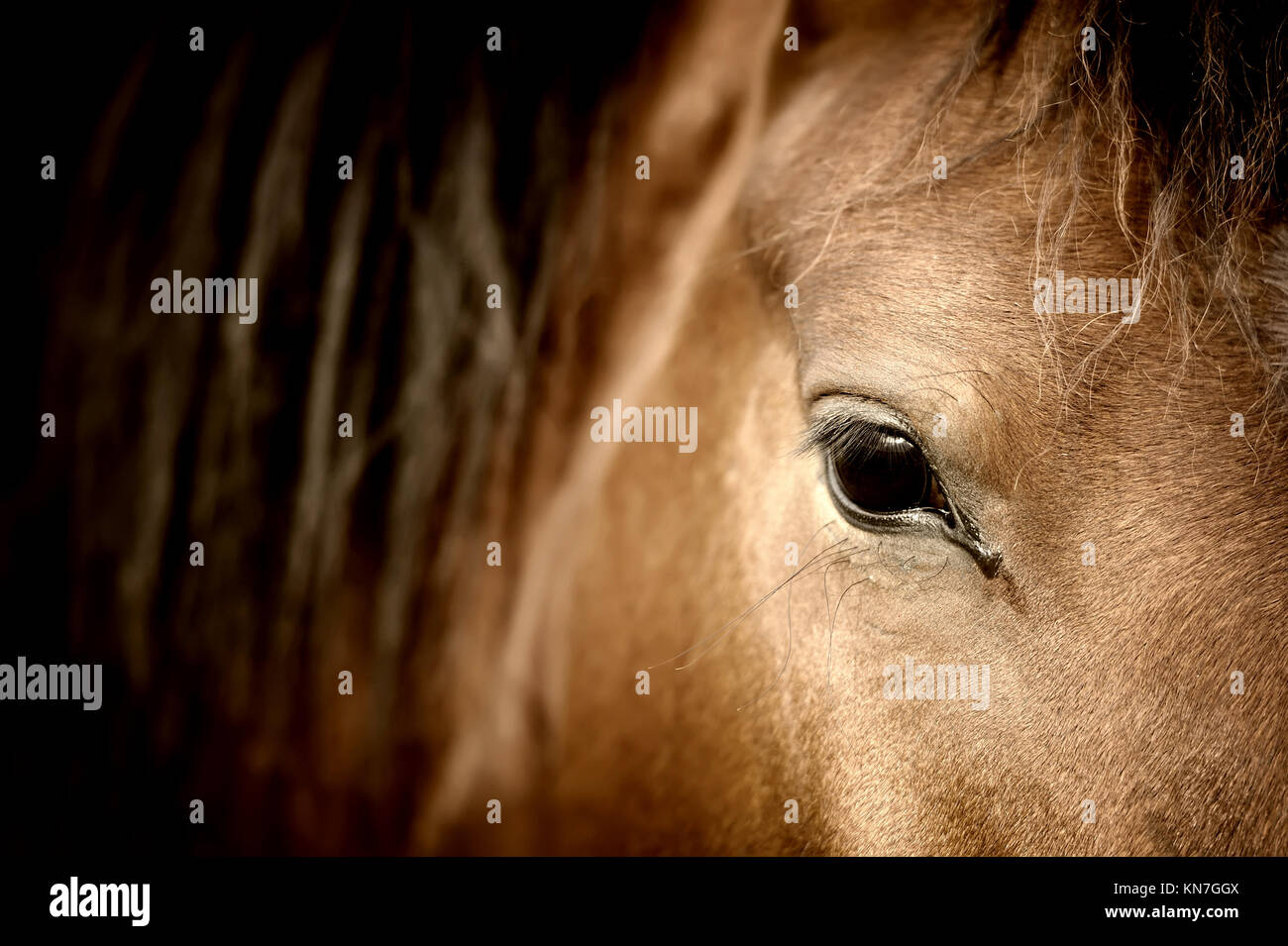 Close-up eye of Arabian bay horse - Stock Image