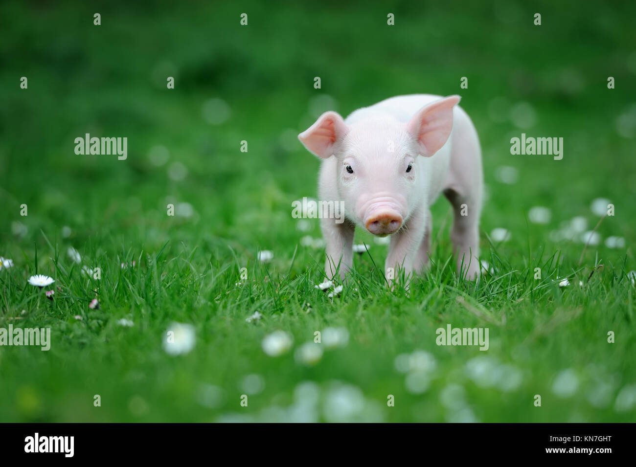Young pig on a spring green grass - Stock Image