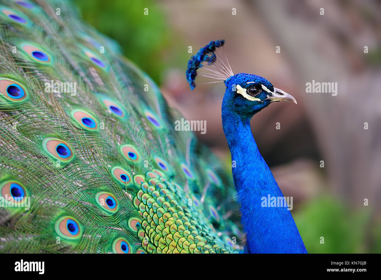 Portrait of beautiful peacock with feathers out - Stock Image
