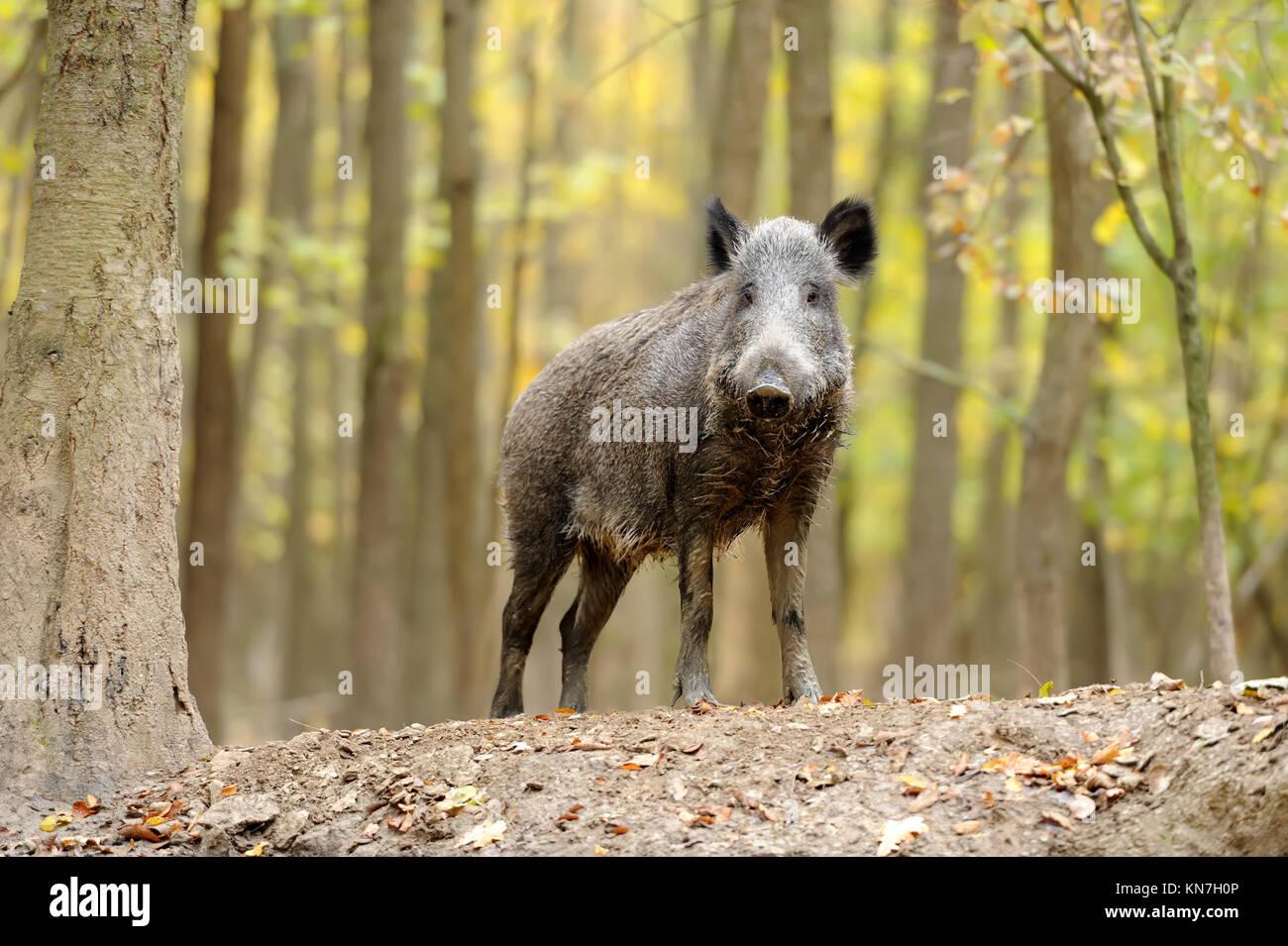 Wild Boar Attack Stock Photos & Wild Boar Attack Stock
