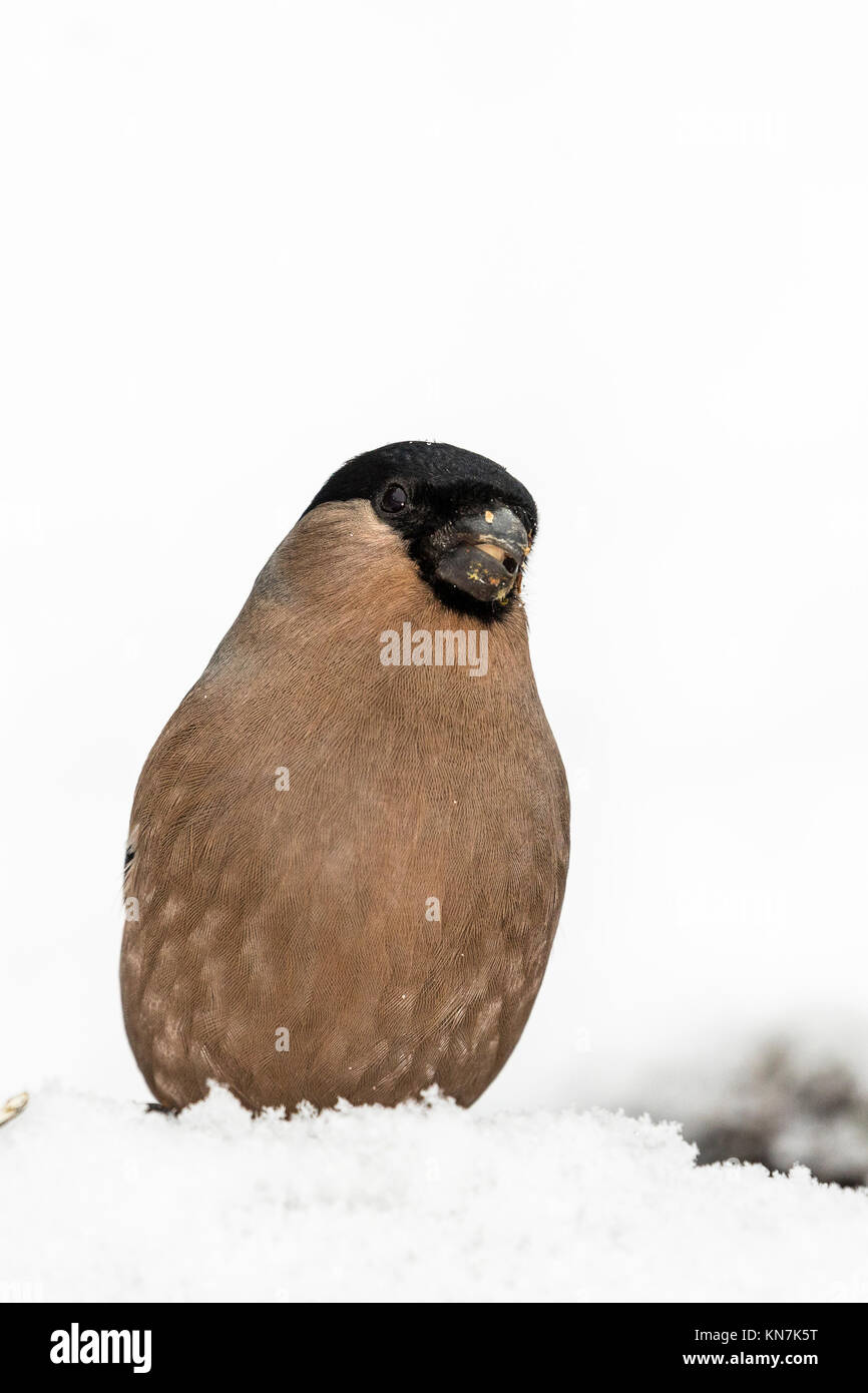 Female Bullfinch in a snowy winter setting - Stock Image
