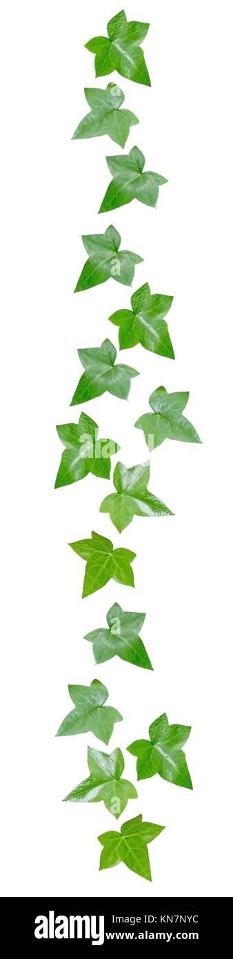 Green vine leaves margin decor isolated on white. - Stock Image