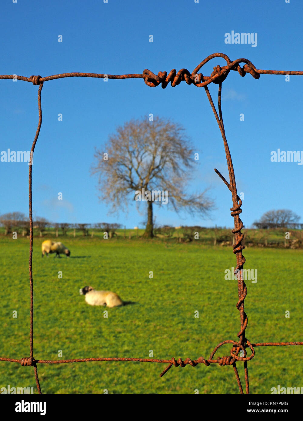 farmland with sheep in field and leafless mature winter ash tree ...