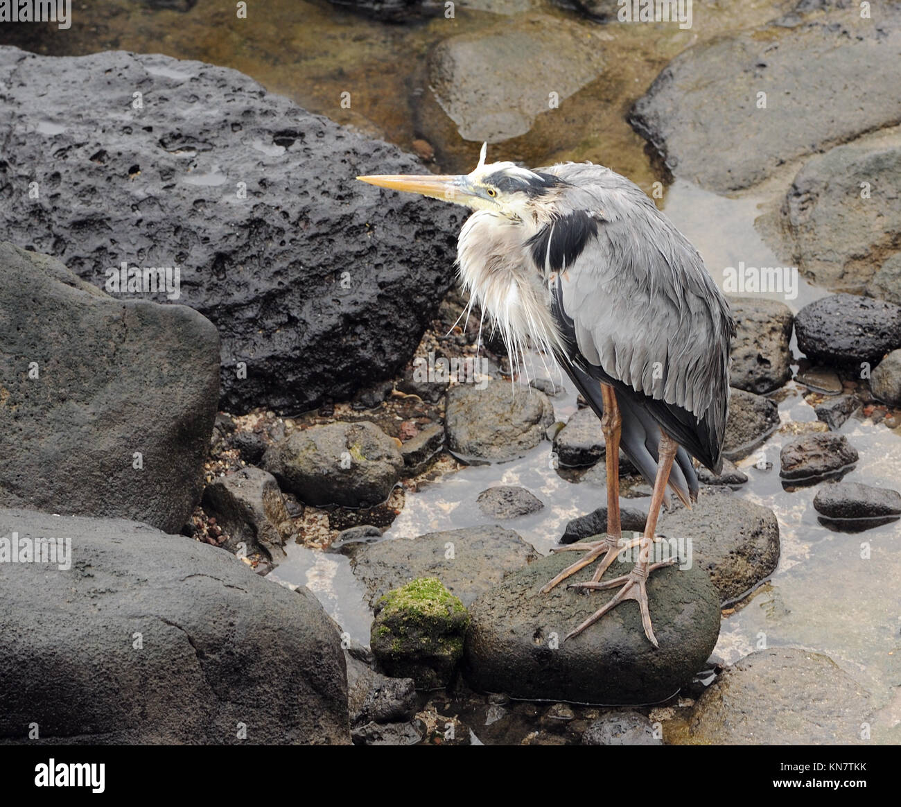 A dishevelled great blue heron (Ardea herodias)  sits out a rain shower. Puerto Baquerizo Moreno, San Cristobal, - Stock Image