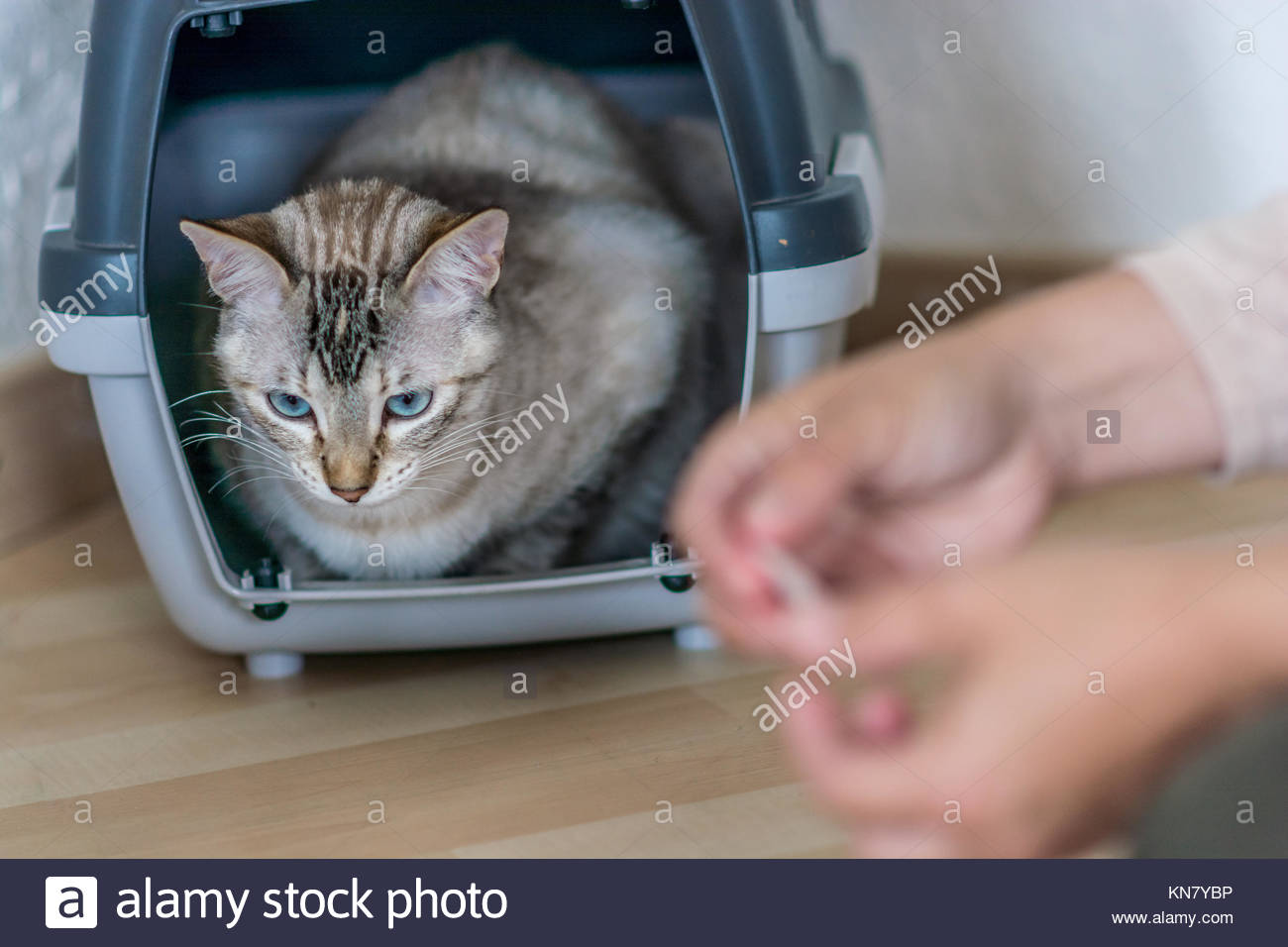 Light-haired fur color female common cat waiting into its pet carrier in the living room - Stock Image