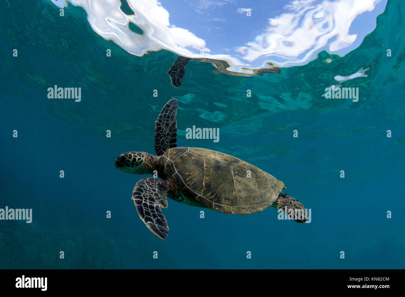 Green sea turtle at Black Rock, Kaanapali, Maui, Hawaii. - Stock Image