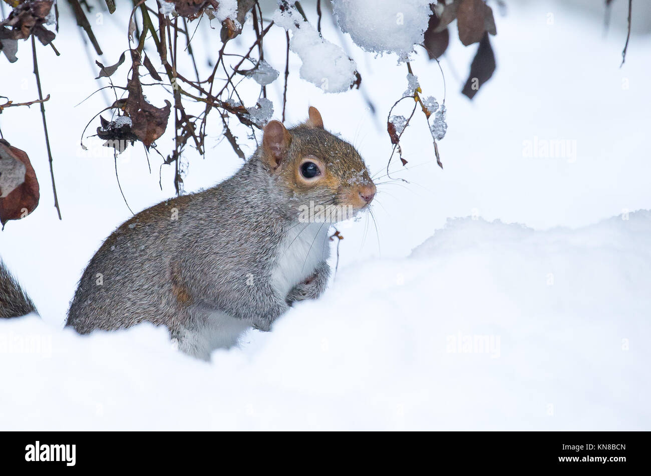 Kidderminster, UK. 11th December, 2017. UK weather: winter snow still causing problems for travellers around Worcestershire and particularly for this confused UK grey squirrel (Sciurus carolinensis) sitting isolated in the middle of a garden snow drift. Credit: Lee Hudson/Alamy Live News Stock Photo