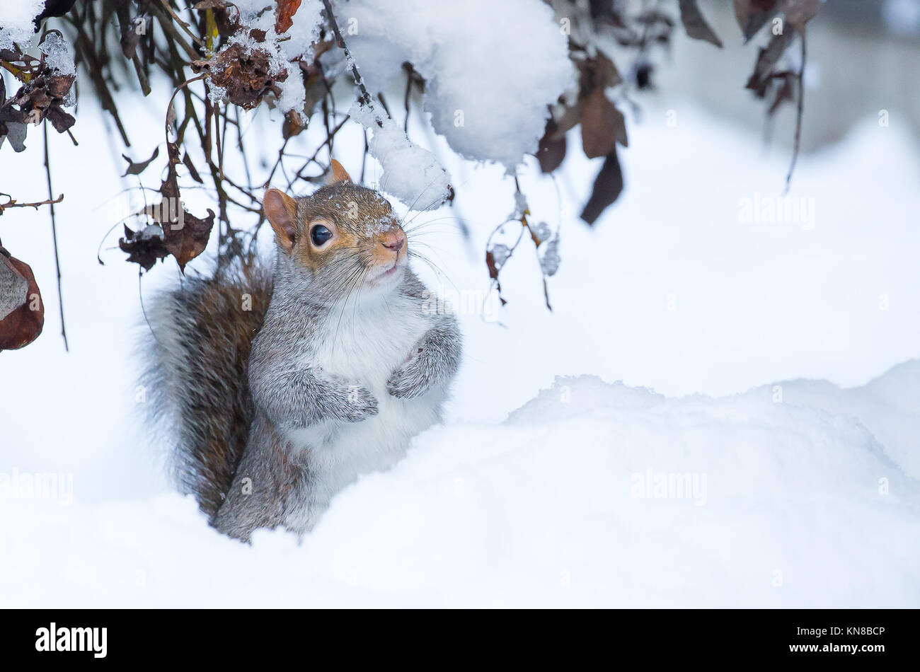 Kidderminster, UK. 11th December, 2017. UK weather: winter snow still causing disruption around Worcestershire and particularly for this confused wild grey squirrel (Sciurus carolinensis) sitting isolated in the middle of a UK garden snow drift. Credit: Lee Hudson/Alamy Live News Stock Photo