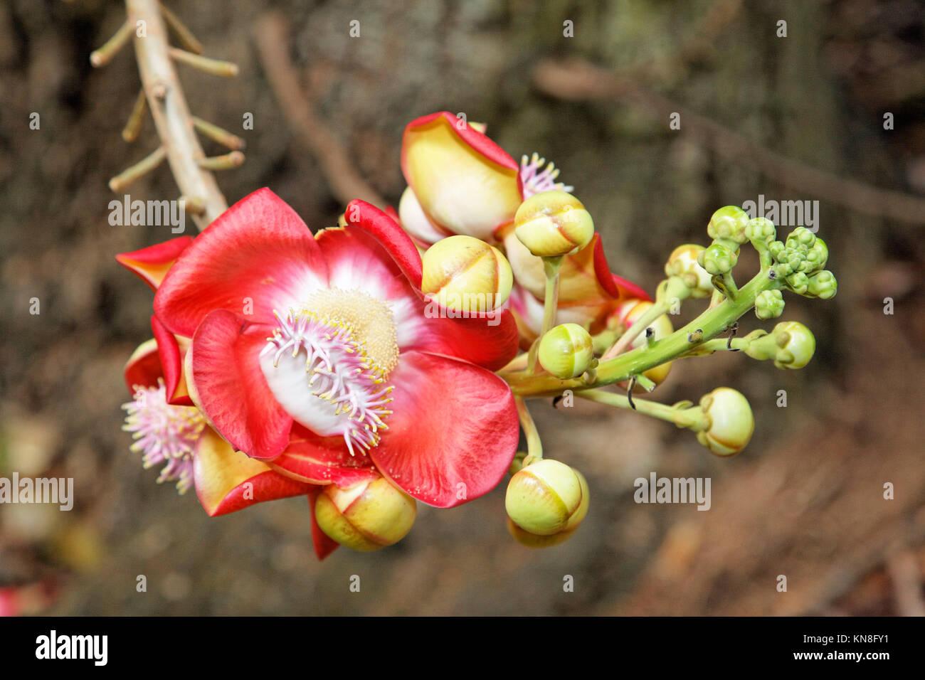 Cannonball tree flower, botanical garden, Mahe, Seychelles - Stock Image