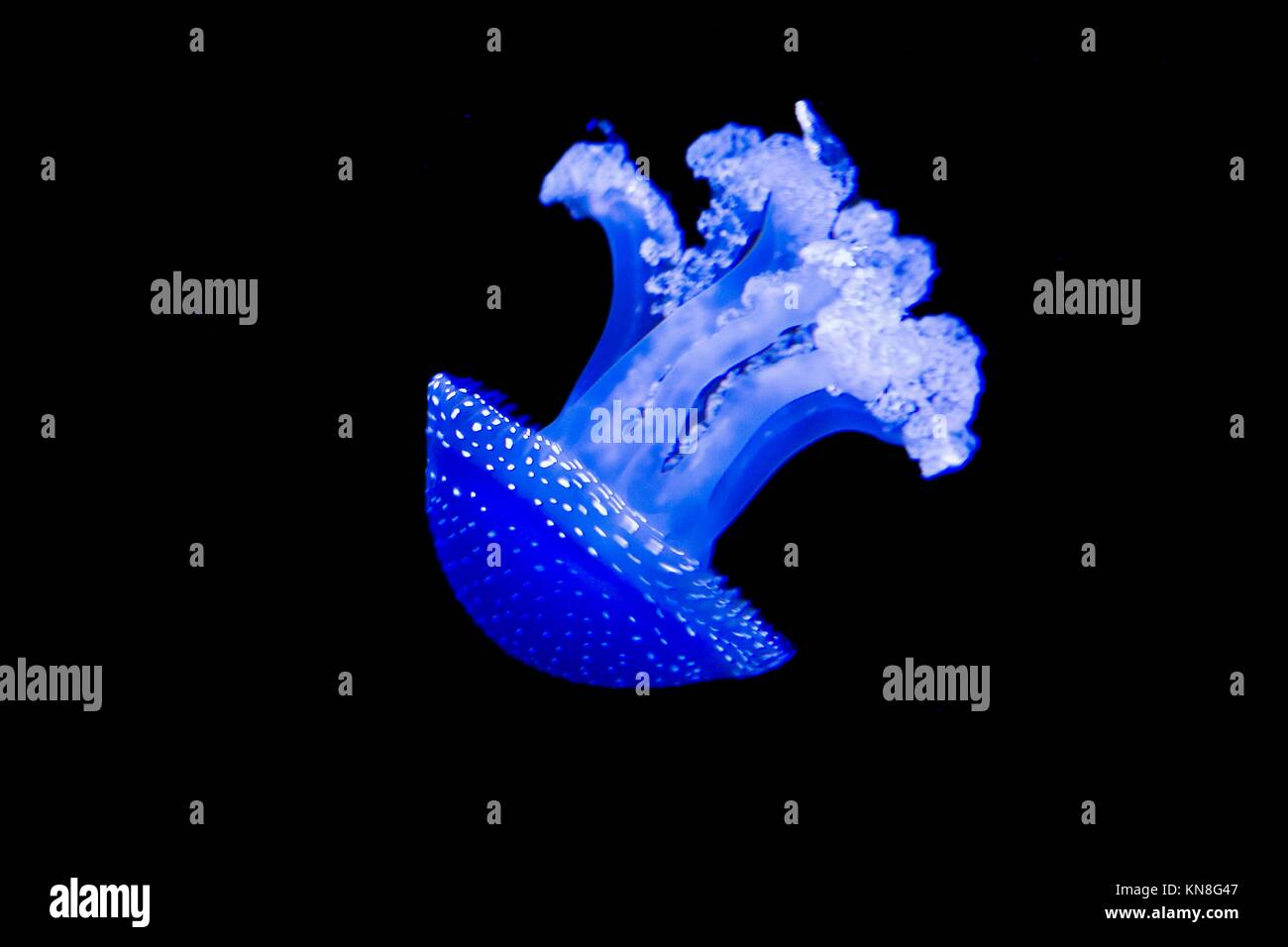 Beautiful white and blue jellyfish in the water on black and blue background in Lisbon aquarium, Portugal. - Stock Image