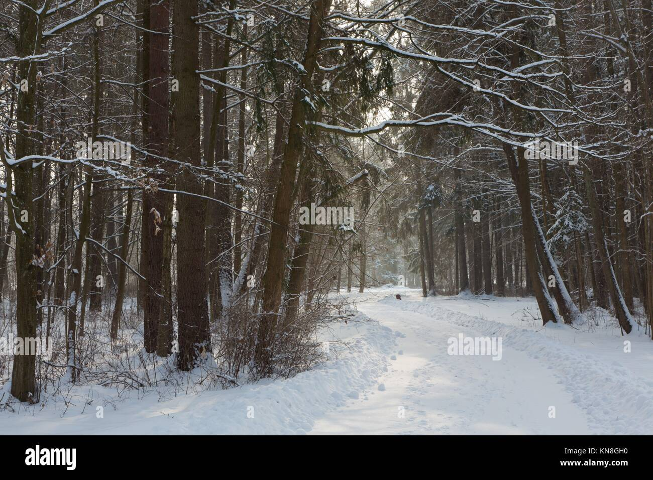 Snowy road between two spruces in winter Palace Park,Bialowieza,Poland,Europe. - Stock Image