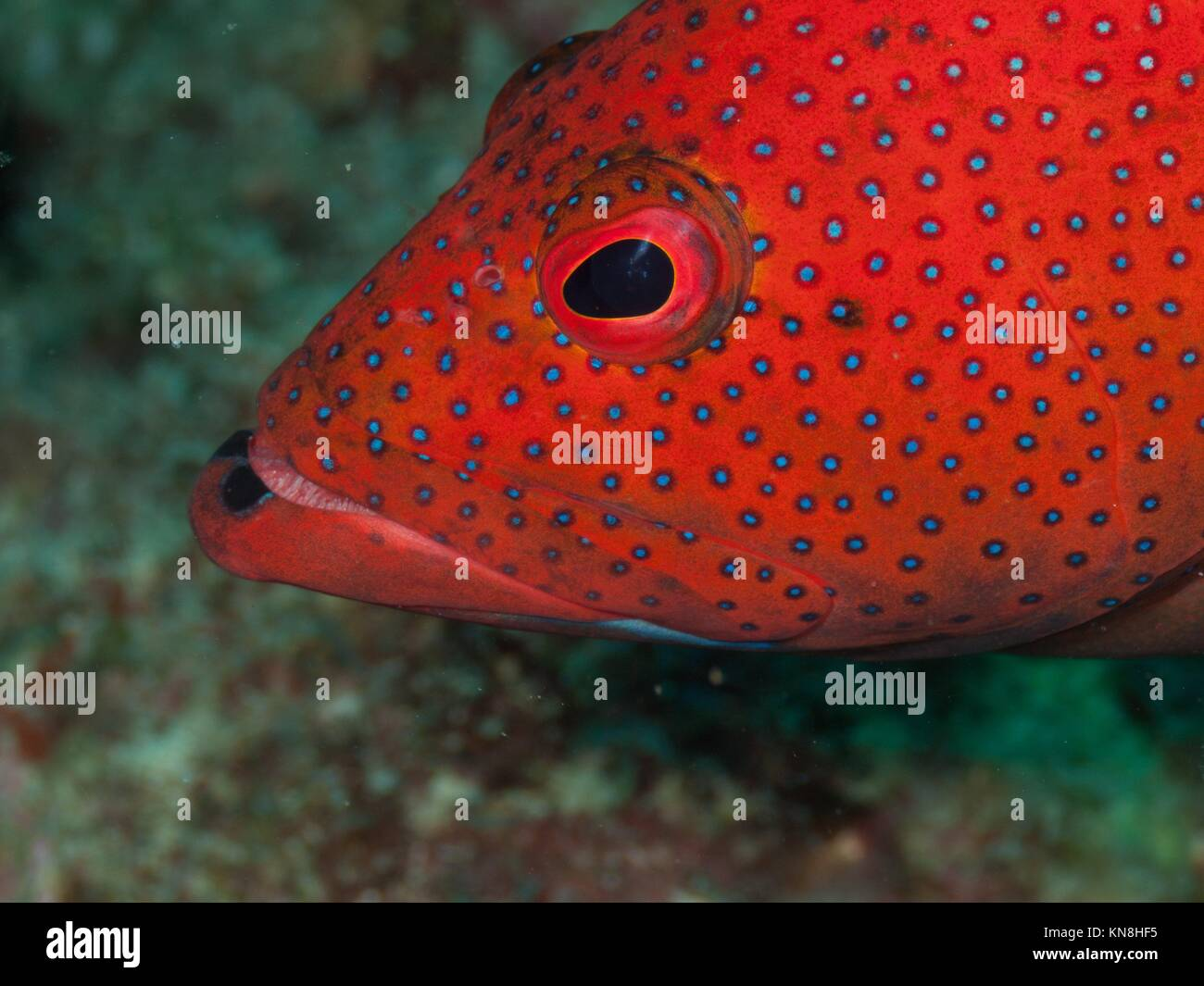 EPINEPHELUS FULVUS, Los Roques, Venezuela phase coloration bright ...