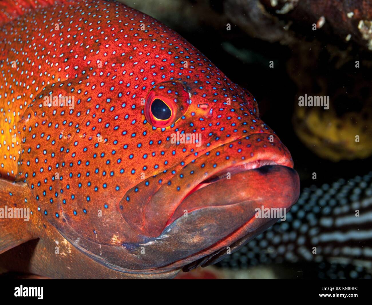Coney Fish Caribbean Stock Photos & Coney Fish Caribbean Stock ...