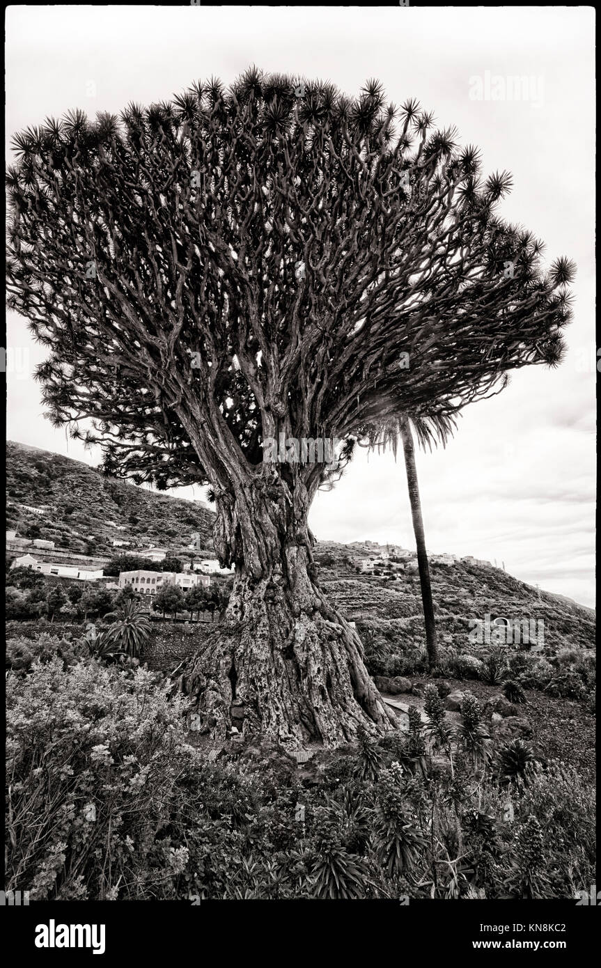 Drago Milenario, the most famous dragon tree (Dracaena draco) at Canary islands, 400 years old, at village Icod - Stock Image