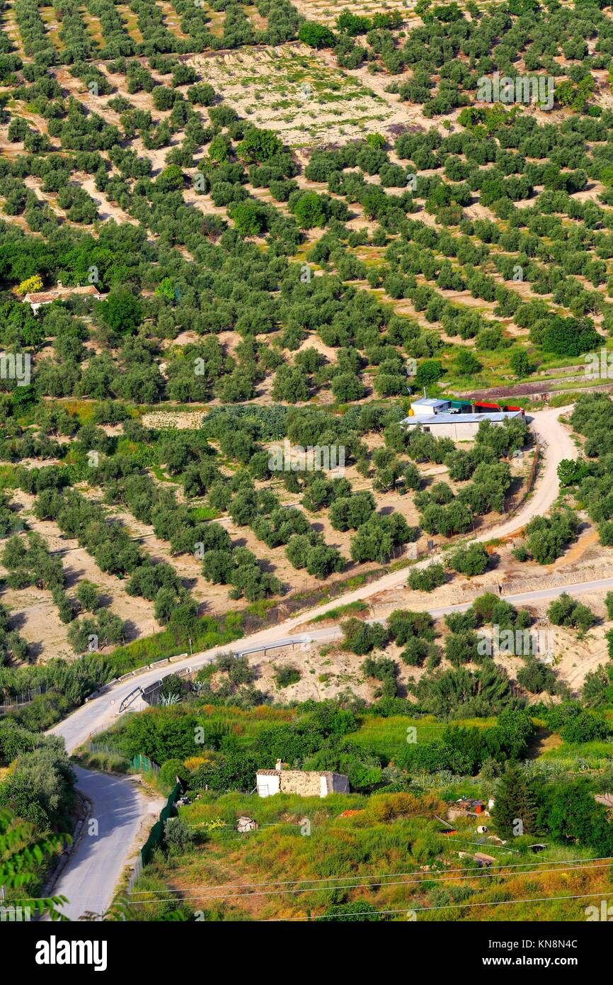 Landscape olive groves tree garden agriculture Spain. Stock Photo