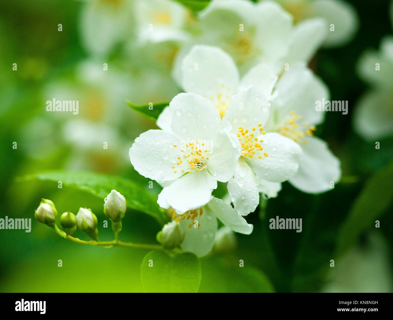 Closeup Of Jasmine Flower At Blossom In Spring Stock Photo