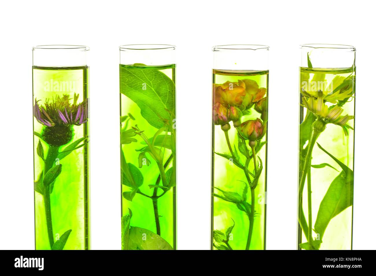 Laboratory, Pink, honeysuckle, thistle and dandelion in test tubes. - Stock Image