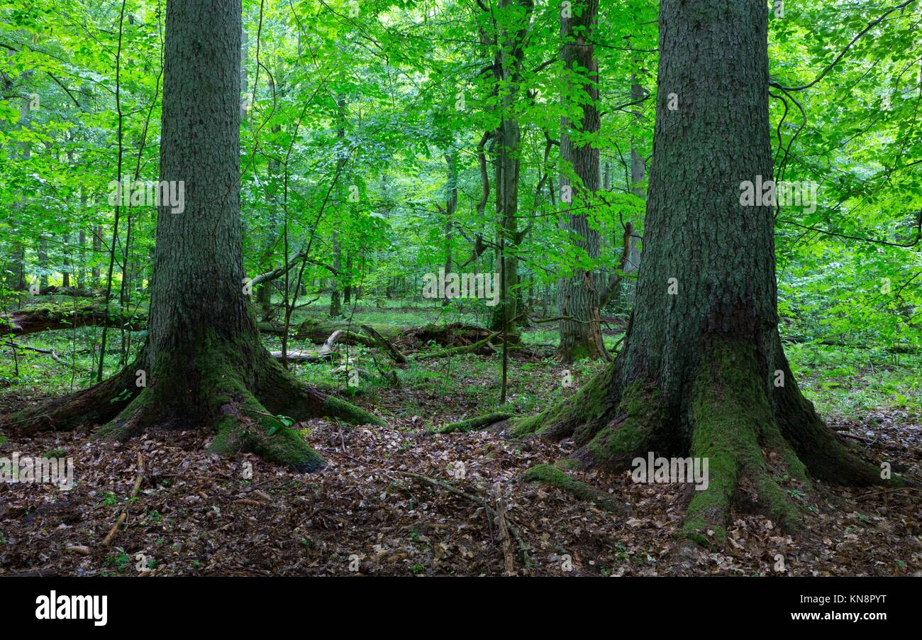 Two old spruces inside deciduous stand of Bialowieza Forest,Poland,Europe. - Stock Image