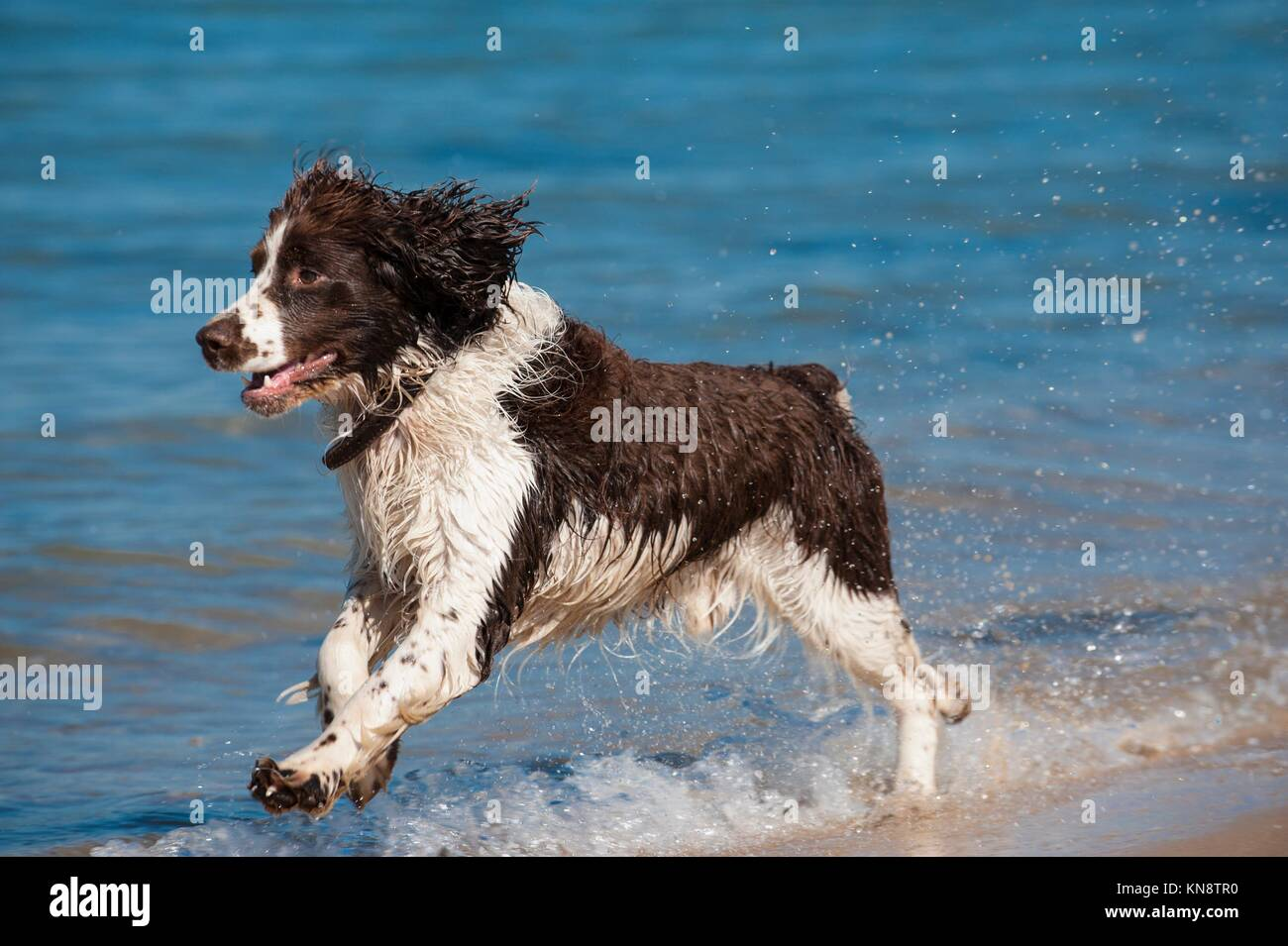 Focused young dog running on the beach, Aquitaine, France. - Stock Image