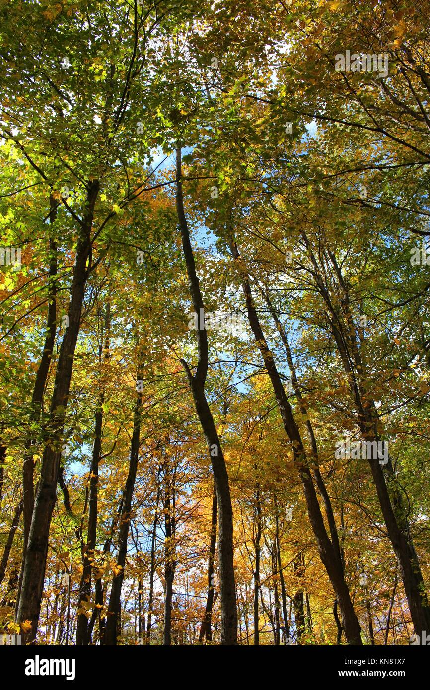 Upward shot of tall trees in a forest with fall foliage with varying shades of yellow, orange and green, in Kenosha, Stock Photo