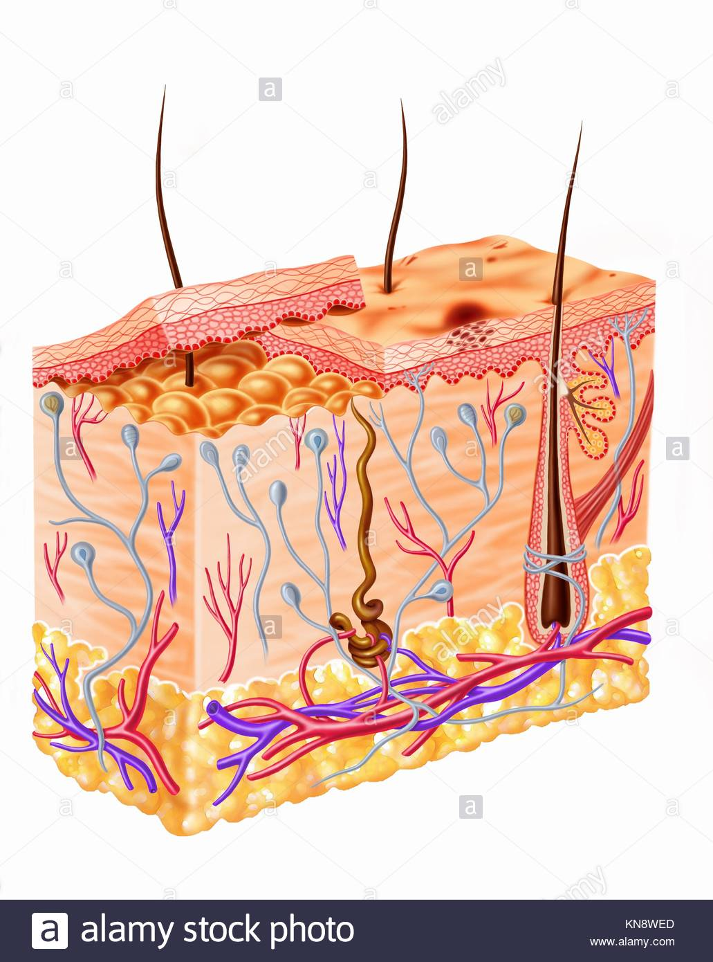 Human skin section diagram. - Stock Image