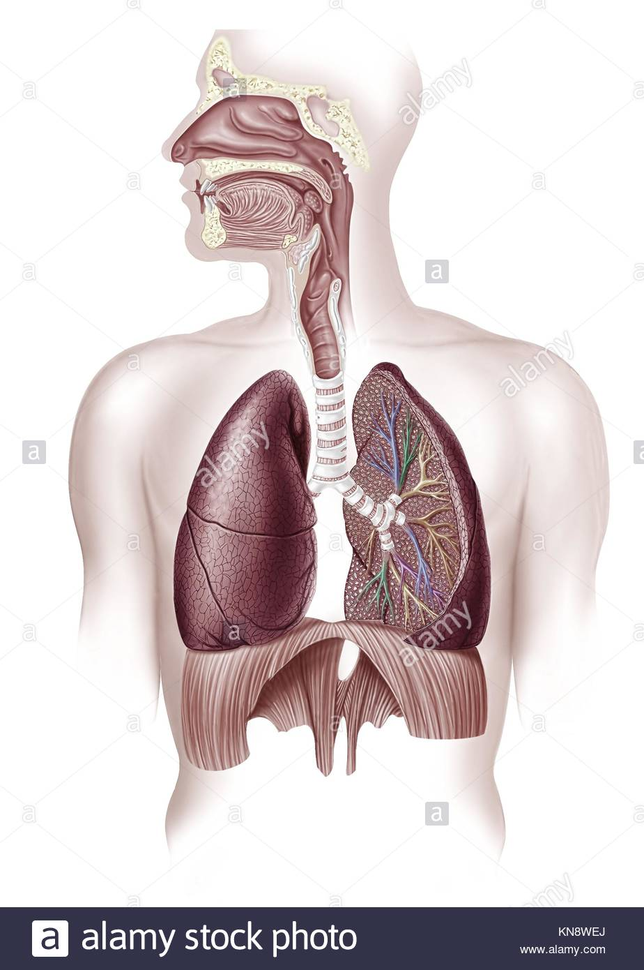 cutaway diagram of a human respiratory sustem, also the nasal and mouth  parts  2 d digital illustration, on white background, with clipping path